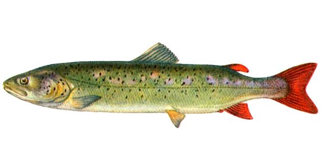 Рыба эта во многих отношениях составляет как бы переход от лососей к...
